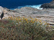 Helichrysum 2007 06 02 Sardinia LM02.jpg