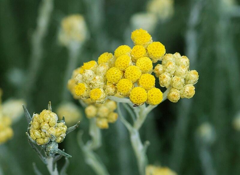 Αμάραντος - Helichrysum stoechas