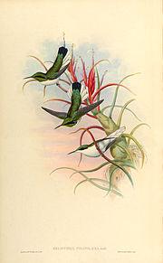 Heliothrix phaïnolæma + Till. bulbosa - Gould -Humm .jpg