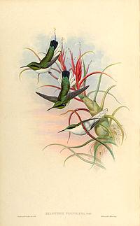 Heliothrix phaïnolæma + Till. bulbosa - Gould -Humm