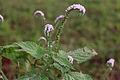 Heliotropium indicum 20020400 1.jpg