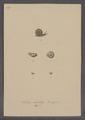 Helix nitidula - - Print - Iconographia Zoologica - Special Collections University of Amsterdam - UBAINV0274 089 01 0053.tif