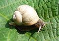 Helix pomatia 2005 G01.jpg