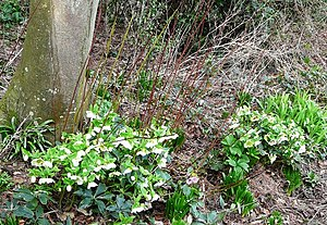 Hellebores, Oldway Mansion, Paignton The helle...