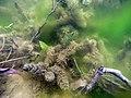 Herbier subaquatique d'eau douce de Ceratophyllum et algues filamenteuses lille aout 2018 a 01.jpg