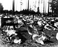 Herd of reindeer from Lapland in Woodland Park, Seattle, en route to Alaska, 1897 (CURTIS 613).jpeg