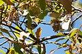 Hermit Warbler (male) Huachuca Canyon (upper) Sierra Vista AZ 2019-05-05 12-38-17 (47731562932).jpg