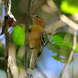 Large-billed antwren - female at Poconé, Mato Grosso State, Brazil