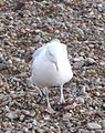 Herring Gull 007.JPG