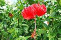 Hibiscus flower,.jpg