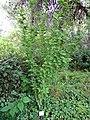 Hibiscus syriacus in Diomidous Botanical Garden.jpg