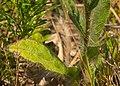 Hieracium longipilum leaves.jpg