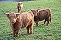 Highland cattle - geograph.org.uk - 648366.jpg