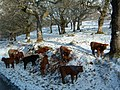 Highland cattle in snow - geograph.org.uk - 535689.jpg