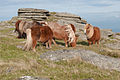 Hill Ponies on Rowtor, Dartmoor.jpg