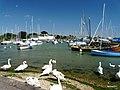 Hillhead harbours swans. - panoramio.jpg