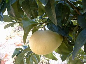 Hirado Buntan, rotfleischige Pampelmuse (Citrus maxima)