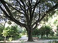 Holm Oak in the National Garden, Athens - panoramio.jpg