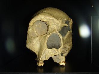 Homo heidelbergensis - Homo heidelbergensis: Steinheim skull replica
