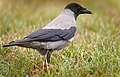 Hooded crow (49281029567).jpg