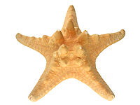 Horned Starfish Macro.JPG