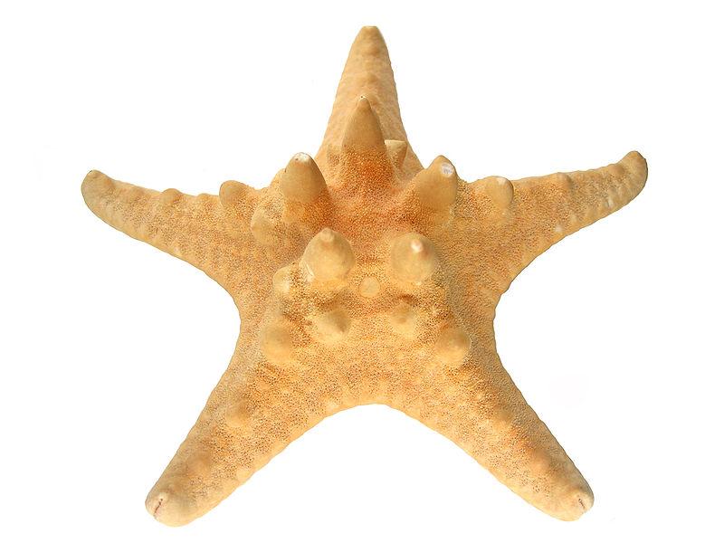 File:Horned Starfish Macro.JPG