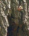 Hornissen am Baum.jpg
