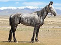 Horse Altai 05.jpg