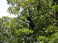Howler Monkey, Guatemala, Laslovarga02.JPG