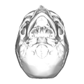 Human skull - inferior view.png