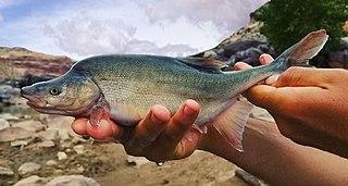 Humpback chub Species of fish