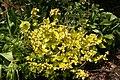 Hydrangea macrophylla Yellowleaf 1zz.jpg