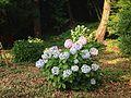 Hydrangea macrophylla in Kashii Shrine.jpg