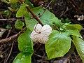Hydrangea petiolaris 2017-04-30 8919.jpg