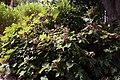Hydrangea quercifolia Alison 3zz.jpg