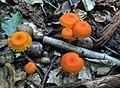 Hygrocybe miniata (Fr.) P. Kumm 552687.jpg