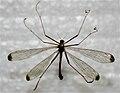 Hylobittacus apicalis Michigan.jpg