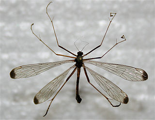 <i>Hylobittacus apicalis</i> species of insect