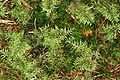Hylocomium.splendens.2.jpg