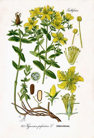 Зверобой продырявленный. Ботаническая иллюстрация из книги О.В.Томе Flora von Deutschland, Österreich und der Schweiz, 1885