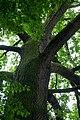 ID 516 Quercus.jpg