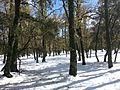 IFRANE-TREES.jpg