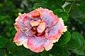 IMG 8266 Hibiscus Photographed by Peak Hora.jpg