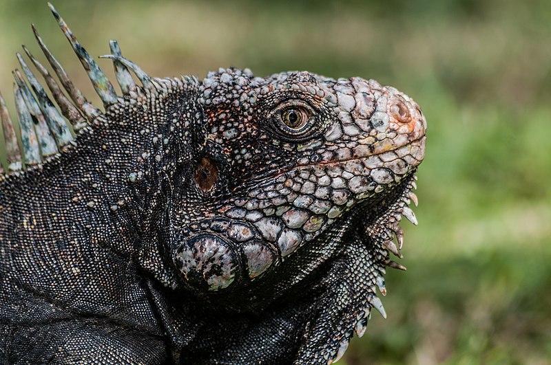 File:Iguanidae head from Venezuela.jpg