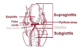 Piriform sinus - Wikipedia