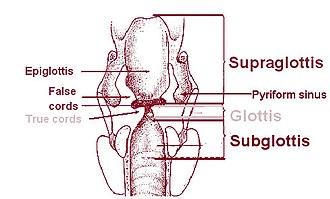 Piriform sinus - Pyriform sinus, a part of hypopharynx