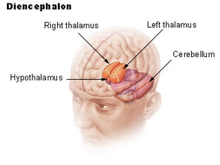 Diencephalon consists of structures that are lateral to the third ventricle, and includes the thalamus, the hypothalamus, the epithalamus and the subthalamus; one of the main vesicles of the brain formed during embryogenesis
