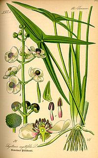 <i>Sagittaria</i> genus of plants