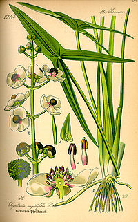 Illustration Sagittaria sagittifolia0