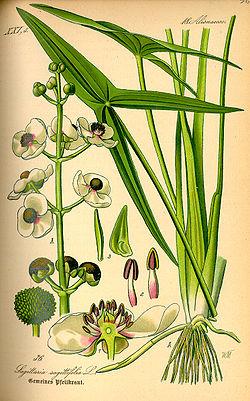 Illustration Sagittaria sagittifolia0.jpg